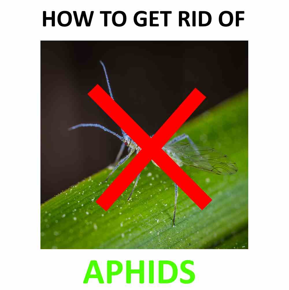 Get rid of aphids at home.