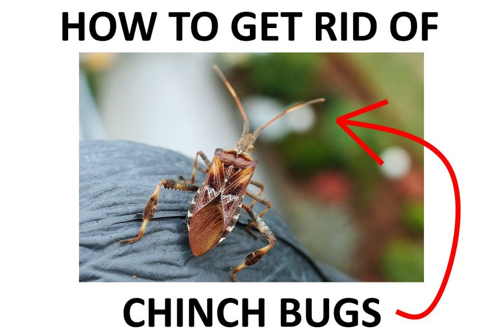 Get rid of chinch bugs fast.