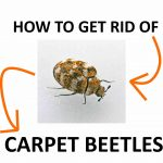 How to Get Rid of Carpet Beetles Naturally (And Fast)