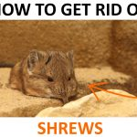 How to Get Rid of Shrews (Naturally) – 2019