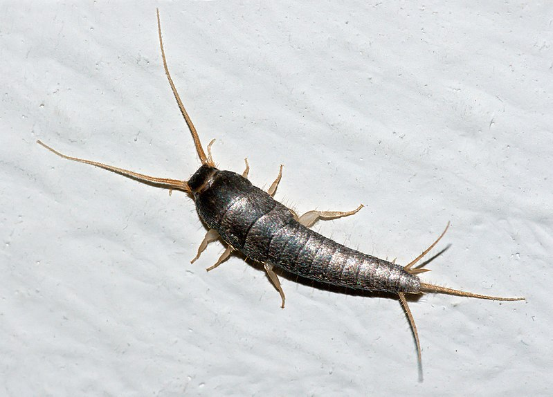 Silverfish will take over your home and hide in areas you can't reach.