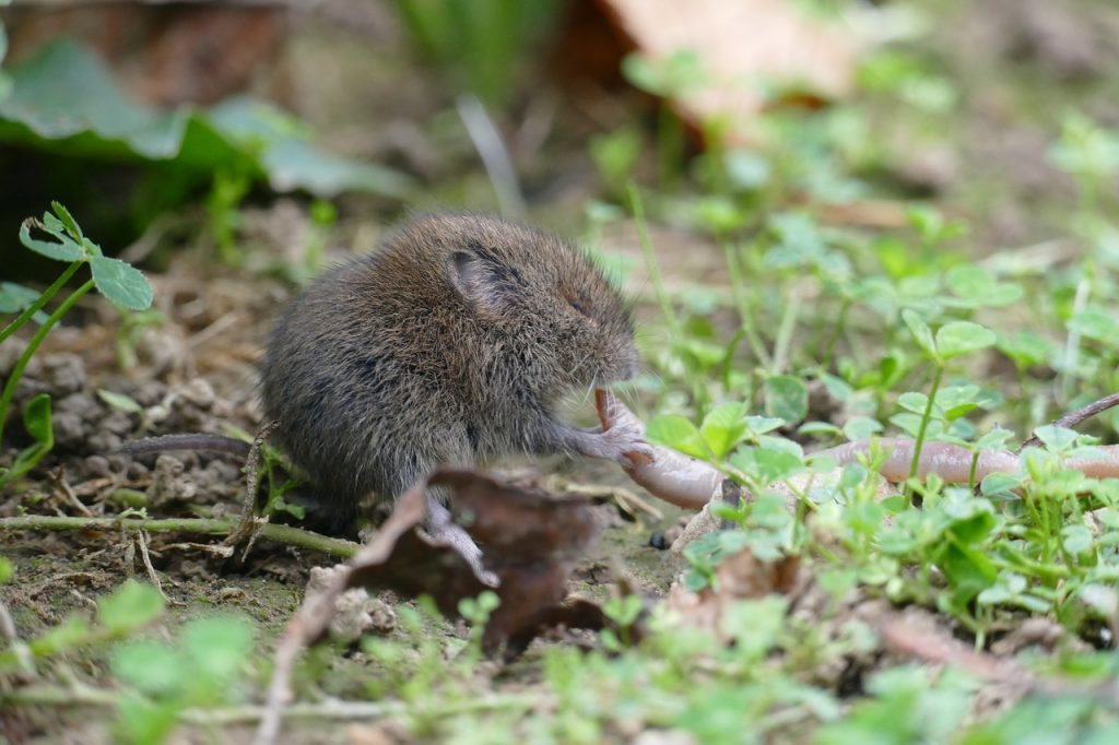 Difference between shrew, mole, vole.