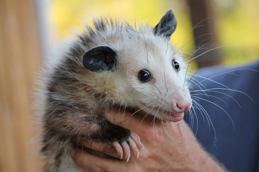 Possums looks very similar to a giant rat, with pointed ears and a long tail.