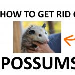 How to Get Rid of Possums Naturally (DIY Remedies)