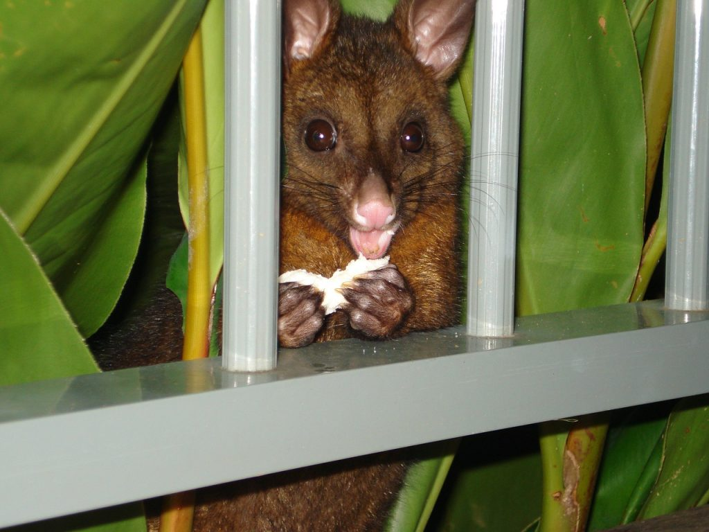 How to rid possums for good.