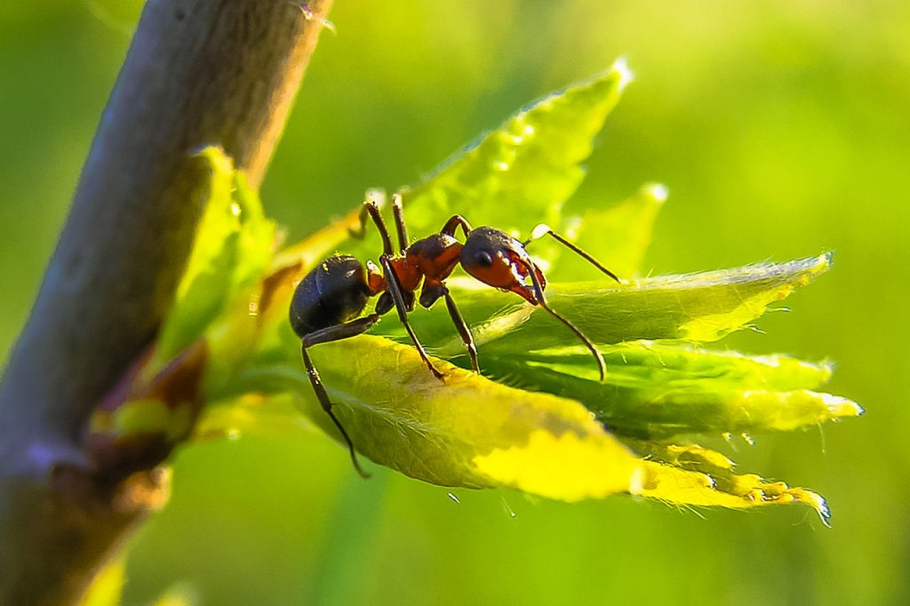 Carpenter ant on leaf. Learn how to get rid of carpenter ants naturally to keep them off your plants, house, and yard.