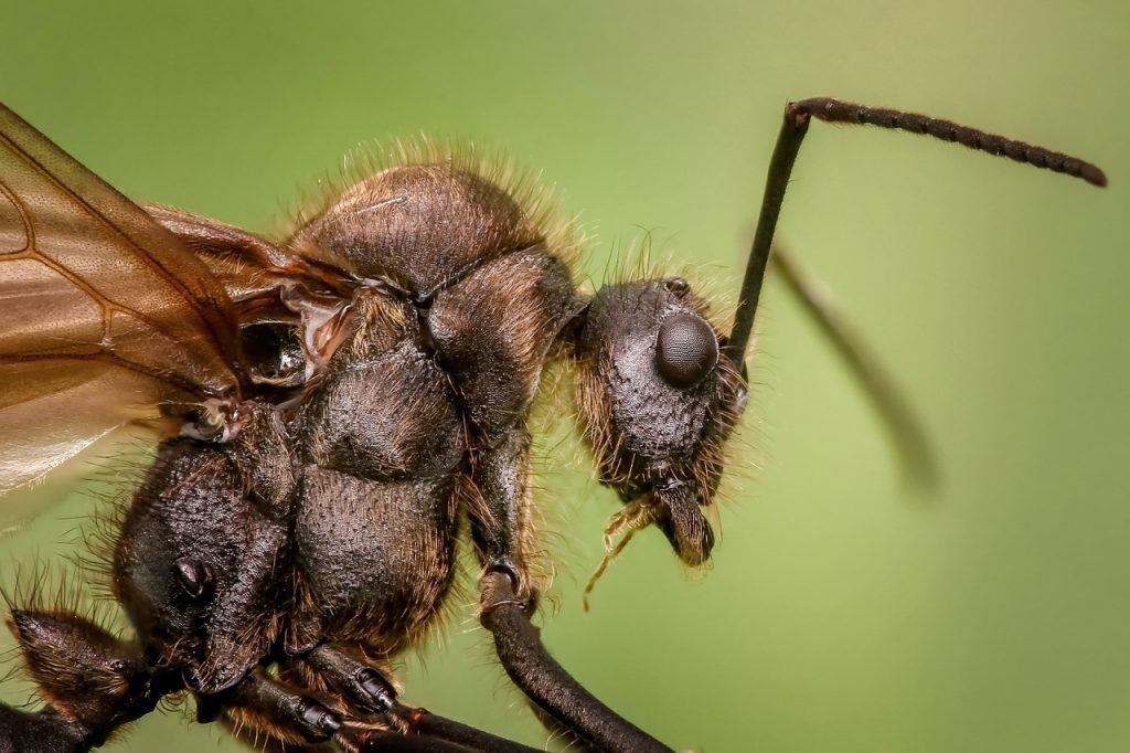 Winged carpenter ant. Learn how to get rid of carpenter ants naturally.