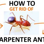 How to Get Rid of Carpenter Ants Naturally (Ultimate Guide)
