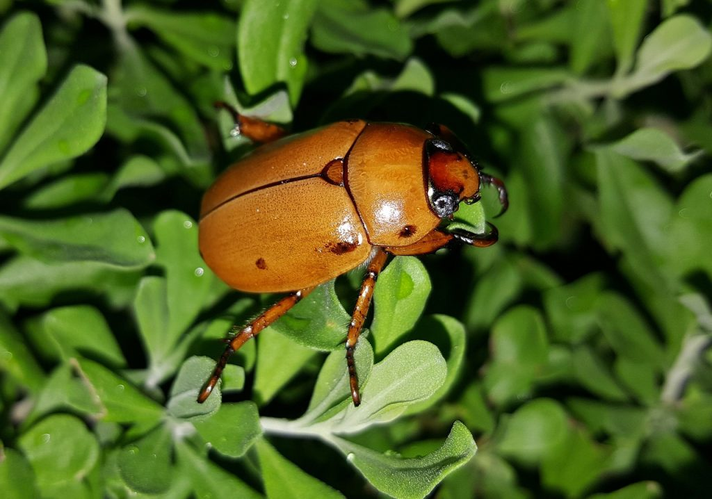 There are a ton of colors of June bugs, you can get rid of them naturally using these techniques at home DIY style.