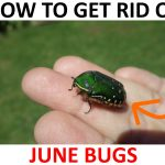 How to Get Rid of June Bugs (Naturally) – 2019