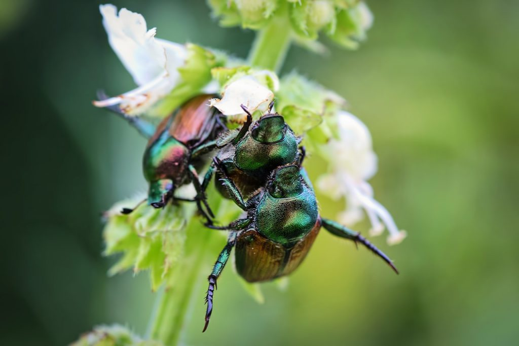 June bugs naturally come out during the summer and eat up your plants. This guide explains how to get rid of June bugs naturally.