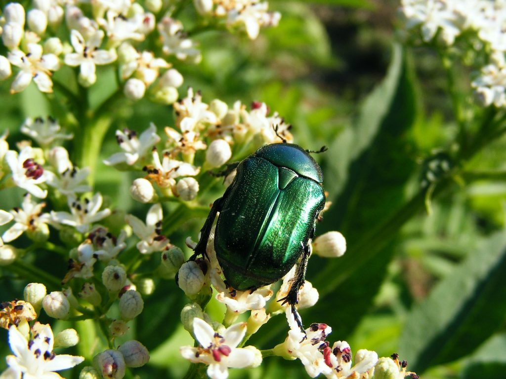 June bugs will eat up your vegetation, so you use DIY June bug repellent or traps to get rid of them.