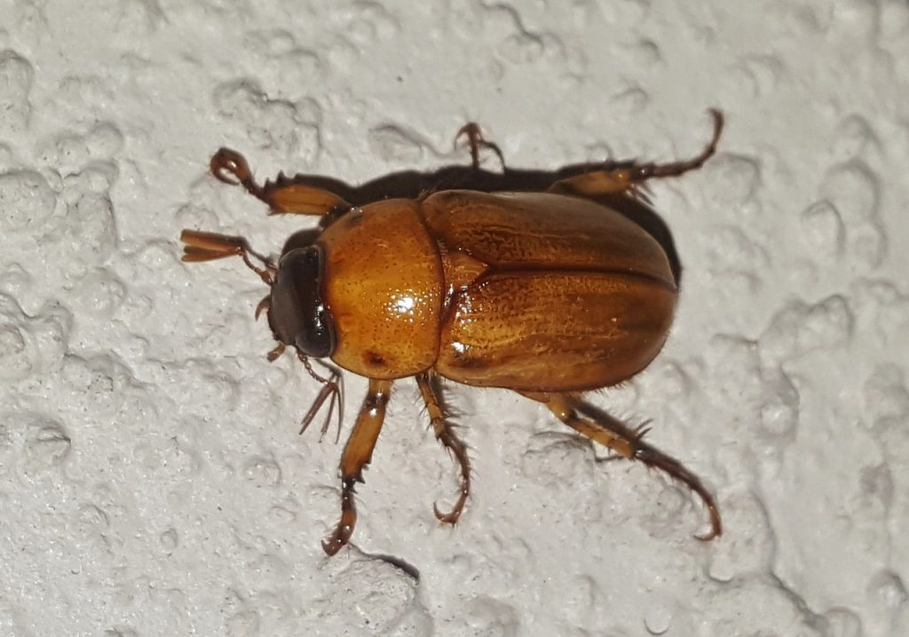 June bugs and May bugs come in a variety of colors. This is an orange June bug.